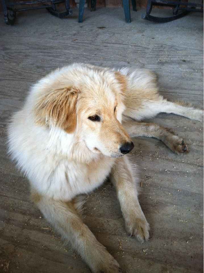 Golden pyrenees adult weight are
