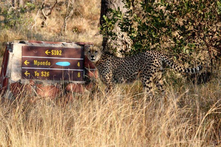Kruger Park Directions Cheetah Mpondo
