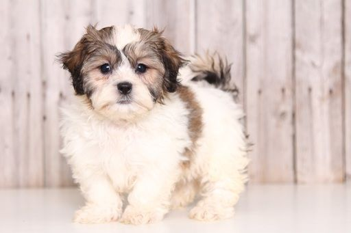 Zuchon puppy for sale in MOUNT VERNON, OH. ADN-43840 on PuppyFinder.com Gender: Female. Age: 9 Weeks Old