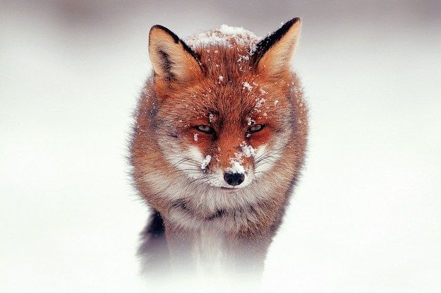 6 Amazing Facts About Fox