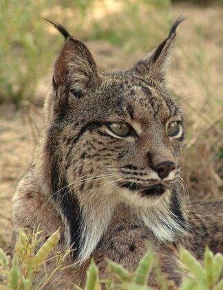 Le lynx pardelle, en voie d'extinction en Espagne à cause de la culture intensive des oliviers dans le sud de l'Espagne.