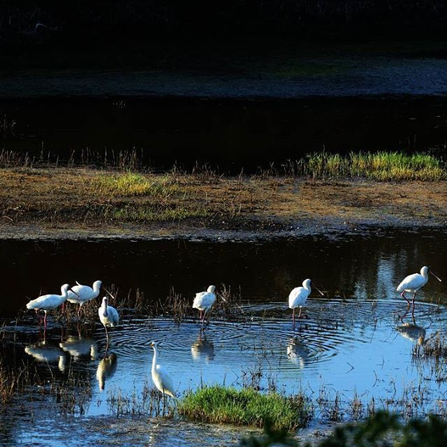 Some beautiful Spoonbills admiring their reflection in the water.  #sibuyagamereserve #easterncape #southafrica #kentononsea #spoonbills #birds #reflection #mirrormirror #wildlife