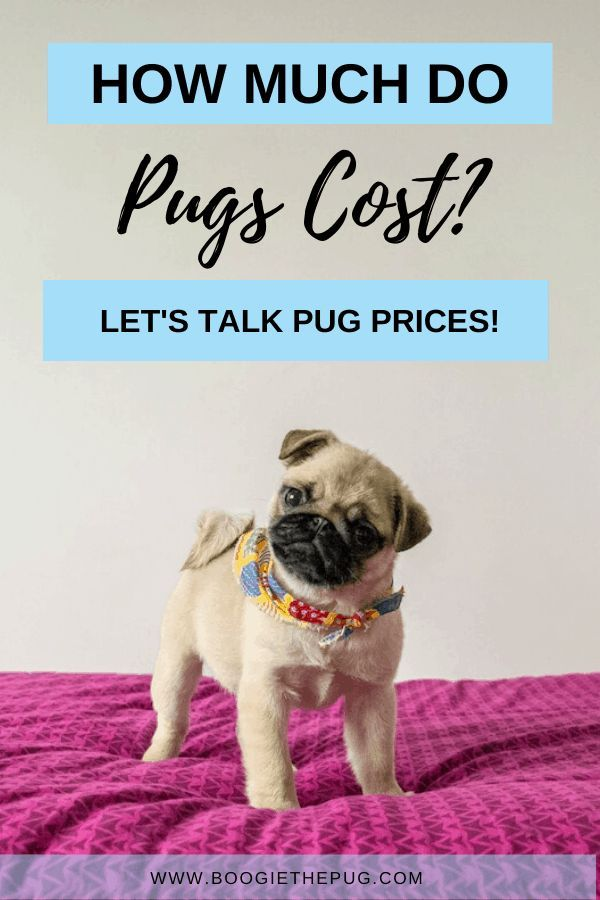 How Much Do Pugs Cost Let S Talk Pug Prices Pug Price Pugs