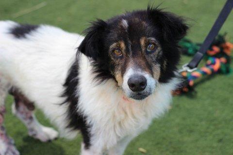 San Luis Obispo County - Animal Services Division San Luis Obispo, CA. <3 *BENNY* Dog • Welsh Corgi & Border Collie Mix • Adult • Male • Small.