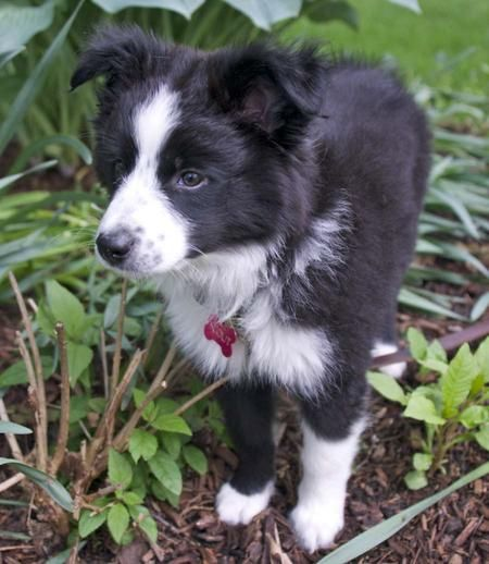 Scout the Border Collie Mix...my dream dog! Scout is even the name I would give him/her!