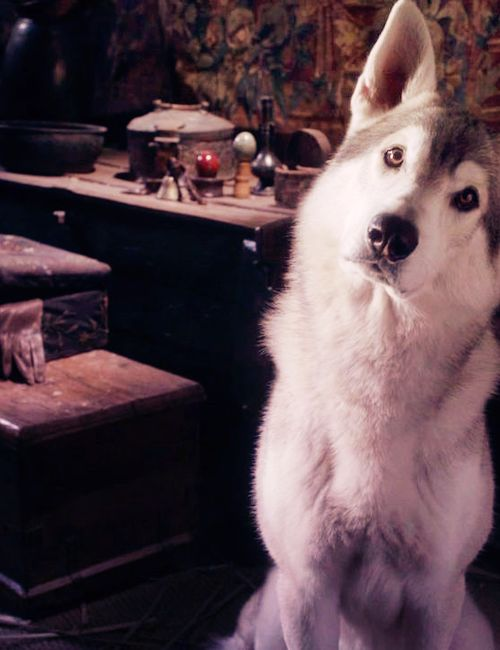 who doesn't want a direwolf? That's right NO ONE!! because everyone wants one <3