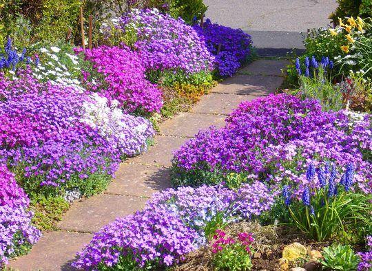Easter aubrieta and grape hyacinths.  :o)