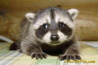 baby raccoon!