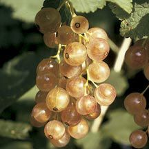 Ideas for my front door.  Pink Champagne Currant | Currant | Fruits | Jung Garden and Flower Seed Company