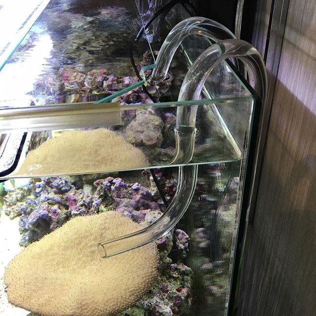 【aqualife_waka】さんのInstagramをピンしています。 《透明アクリルパイプの曲げ方向を変えて水流を変えてみました💦💦 #aquarium #アクアリウム #カクレクマノミ #イソギンチャク #ヤマブキスズメダイ #水槽 #海水水槽》