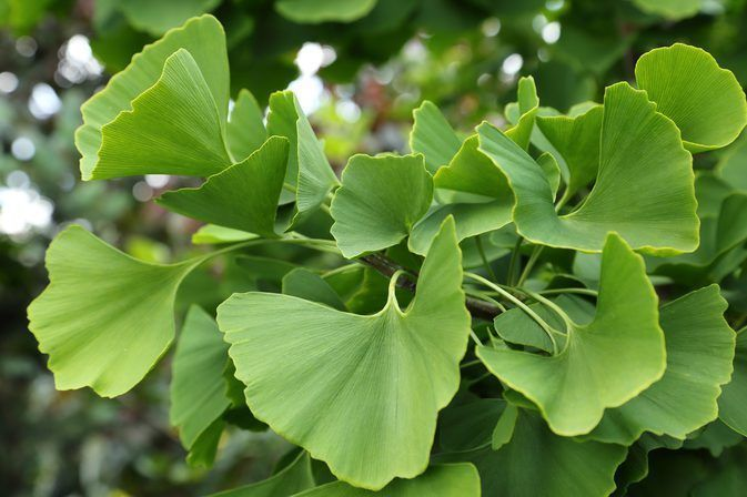 4 Ginkgo biloba Ginkgo tree GET Them Now When They Gone They GONE | Water  retention remedies, Natural herbs, Herbalism