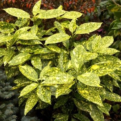 Les 41 meilleures images du tableau arbustes persistants sur pinterest - Arbuste japonais persistant ...
