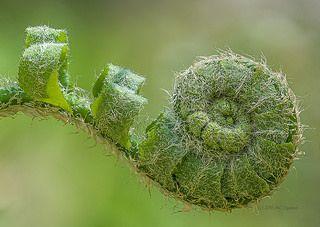 Fiddlehead fern by Mark Cassino