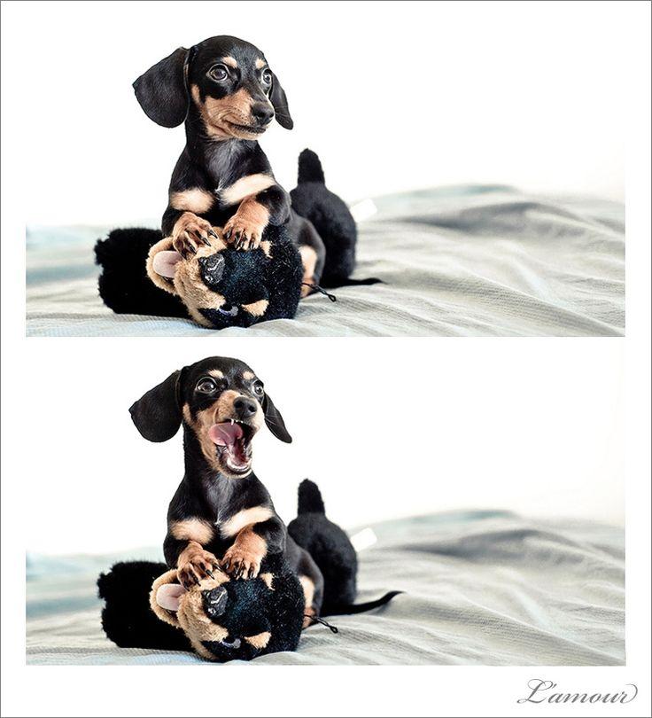 Sasha is a Miniature Black and Tan short-haired Dachshund.