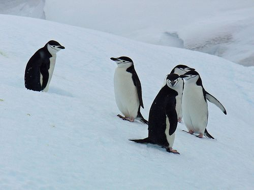 nice Chinstrap Penguins images pictures