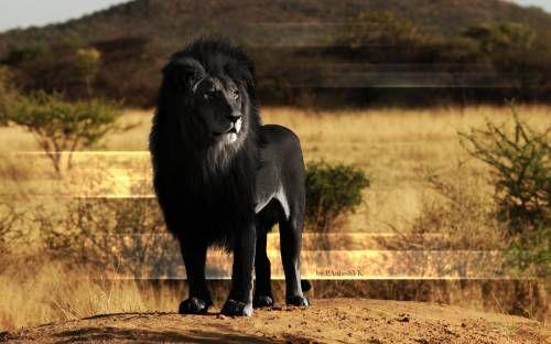 Чёрный лев