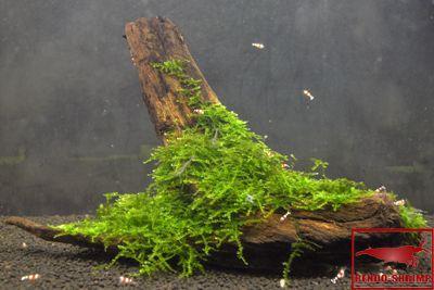 Купить мох корень с Рождеством мха онлайн - Rendo-SHRIMP-магазин