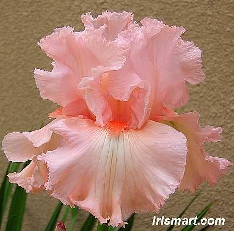 Happenstance tall bearded irise   rebloomer