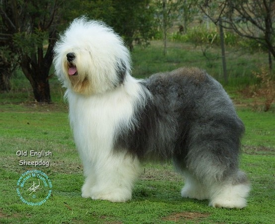 Old English Sheepdog ( BobTail)