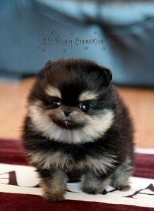 Hi, I'm your new baby pomeranian...I'll be cute long enough for you to grow to love me unconditionally...THEN I WILL CONTROL EVERY ASPECT OF YOUR EXISTENCE MUAHAHAHAHAHAHAHAHA