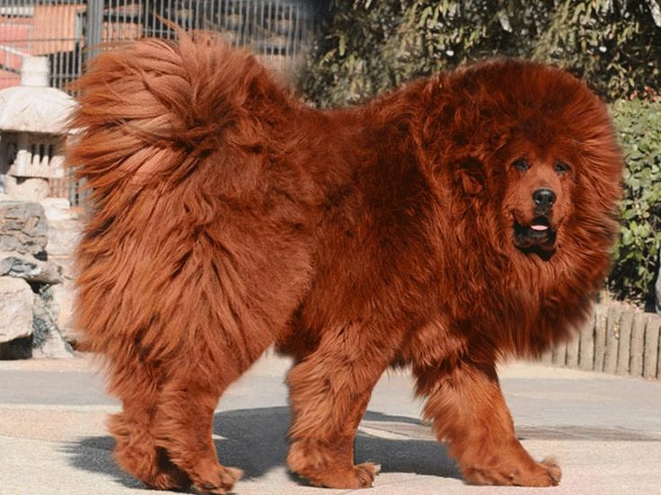 African Lion Dog Breed