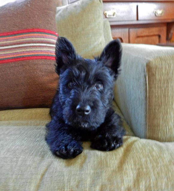 baby scottish terrier 17 best images about naughty scotties on pinterest pets 9532