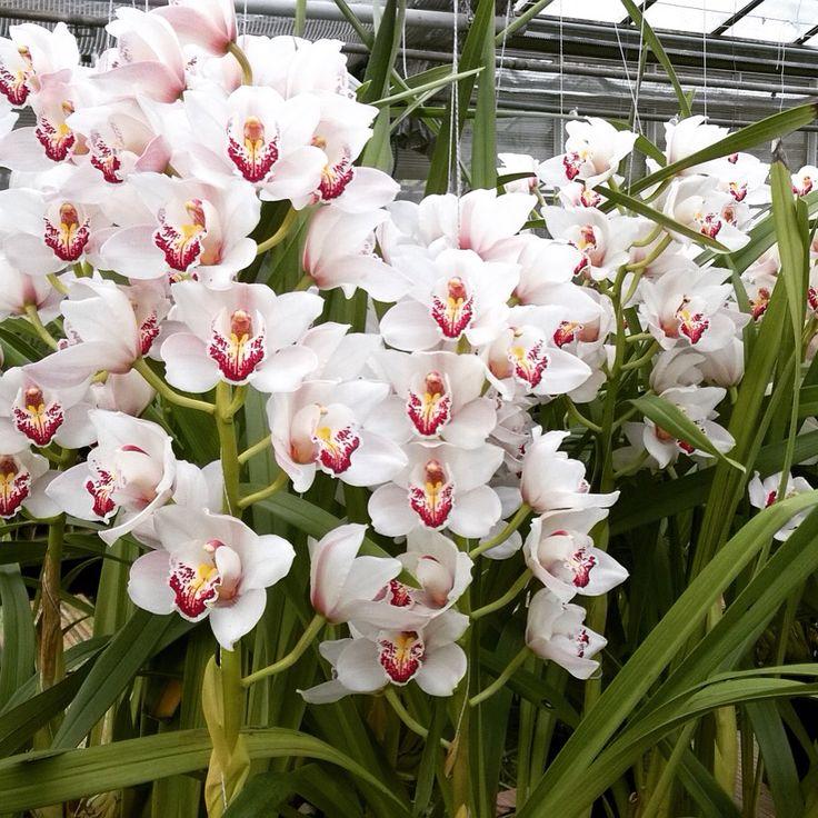 Cumbidium italiano nelle serre di enricoorchidee ad Albenga. Enrico, le orchidee Made in Italy dal 1977.