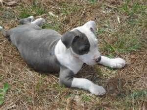 American Blue Brindle Pitbull Puppies with blue eyes - Bing Images