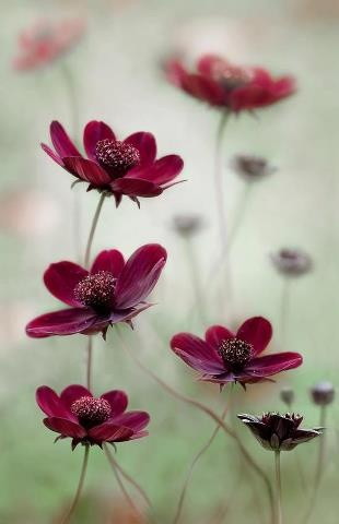"""CHOCOLATE COSMOS:1) Perennial that blooms from June to September 2) Full to part sun with moderate water 3) Height is 24"""" with spread about 1 foot 4) Attractive to butterflies 4) Aromatic late in the day with a chocolate scent (non-edible)"""
