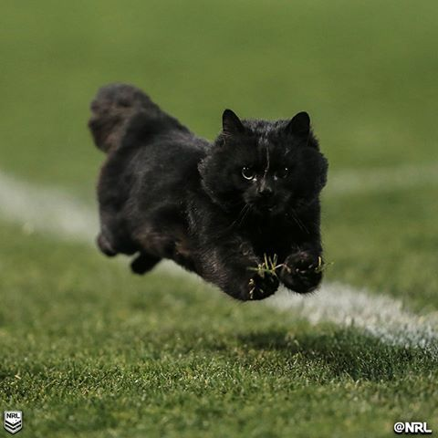 A Cat ran on the field during an NRL match tonight