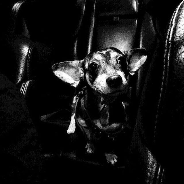 Black on black Portrait Retrato  #nofilter #sargento #perro #mascota #chihuahua #dog #pet #senior #black #negro #paseo #ride #familia #family #fourlegged #cuatropatas #retrato #portrait #blancoynegro #blackandwhite
