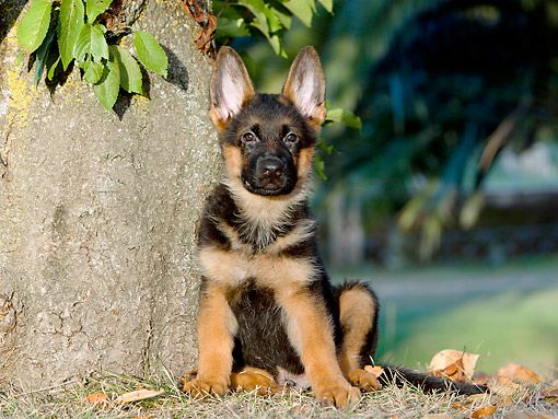 how to train your german shepherd puppy to sit