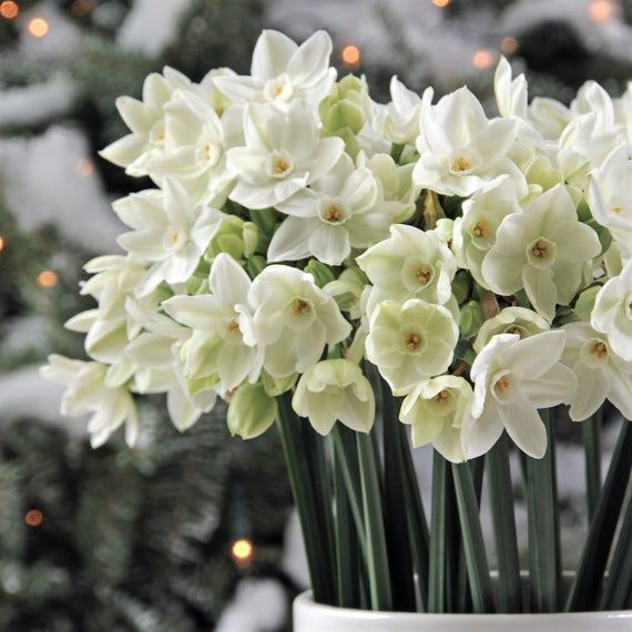 Ziva Paperwhite Narcissus Bulbs Indoor Very Fragrant Perennial Rare Flower Plant