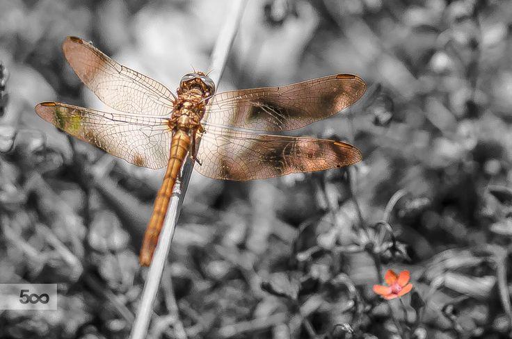 Anisoptera (Sympetrum) CROP by Graziella Serra Art & Photo on 500px