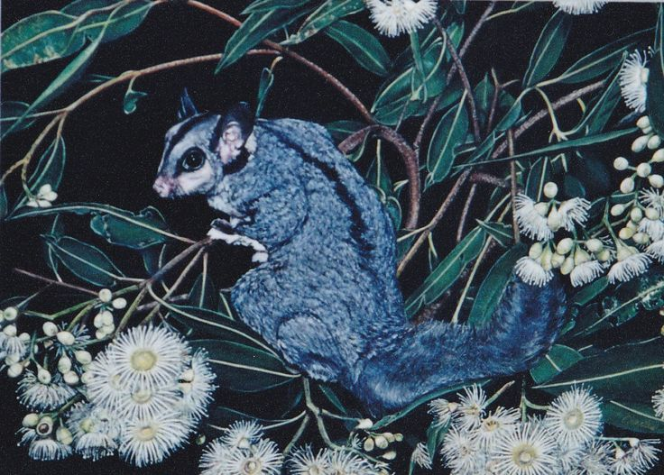 Squirrel Glider