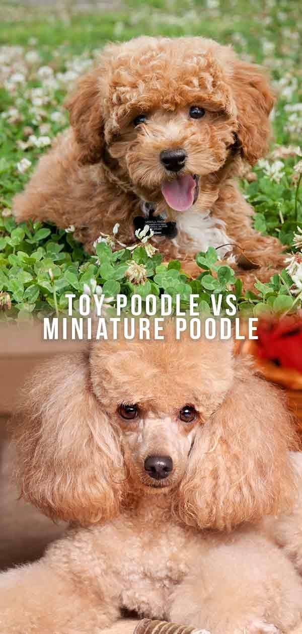 German Shepherds Are Among The Most Consistent Dog Breeds To Make The American Kennel Club S Annu In 2020 Miniature Poodle Miniature Poodle Training Toy Poodle Haircut
