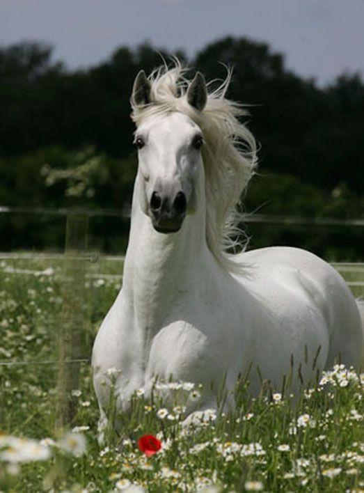 Zagal XI PRE stallion