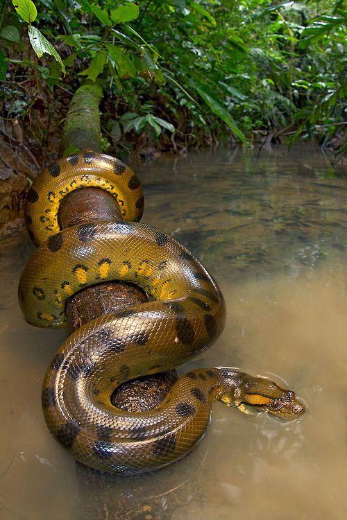 Band 2: die Riesenanakonda,die Lili und ihren Freunden im Dschungel den Weg versperrt.