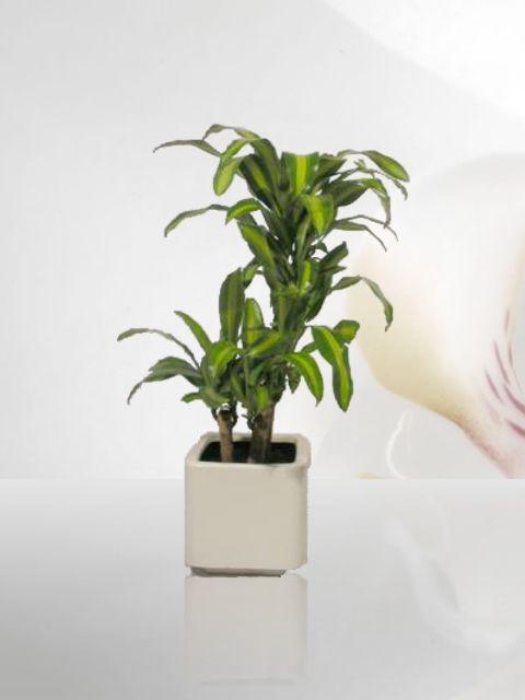 10 best images about venta de plantas de ornato plantas - Plantas ornamentales de interior ...