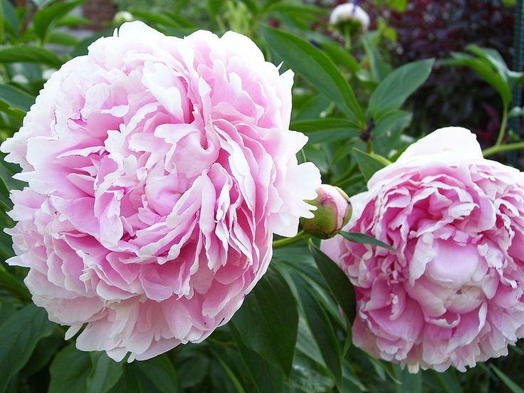 Paeonia lac. Sarah Bernhardt, luktpion. Dubbla rosa blommor, 100 cm hög.