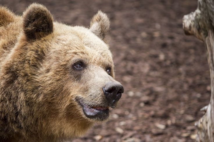 "#Bear at ""Le Cornelle"" park - Bergamo (BG) - Italy - #Animals #Photography"