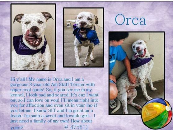 ***7/1/14 LISTED @ MCKINNEY,TX URGENT!!!***Hi y'all! My name is Orca and I am a gorgeous 3 year old Am Staff Terrier with super cool spots!