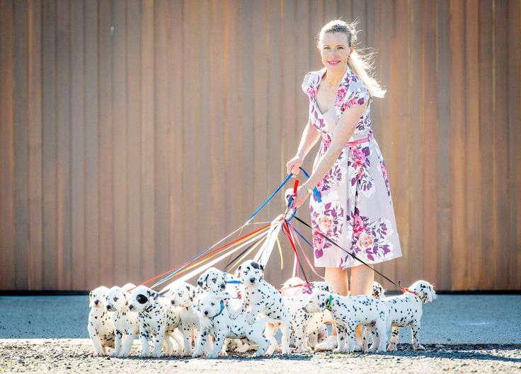 JULY 1, 2017: BALLARAT, VIC: (EUROPE AND AUSTRALASIA OUT) Dalmatian breeder Cecilia Langton-Bunker with 18 Dalmatian puppies in Ballarat, Victoria. 'Miley' the Dalmatian had the biggest Dalmatian litter, 18, on record in Australia. (Photo by Mark Stewart/Newspix/Getty Images) via @AOL_Lifestyle Read more: https://www.aol.com/article/news/2017/07/03/dalmatian-mom-gives-birth-to-a-whopping-18-puppies/23014074/?a_dgi=aolshare_pinterest#fullscreen