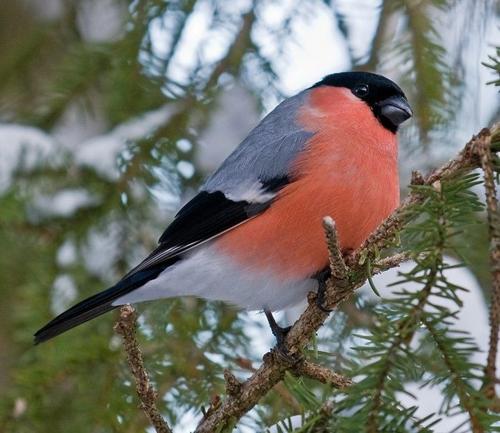 Bullfinch (Pyrrhula pyrrhula) also called the Common bullfinch or Eurasian bullfinch