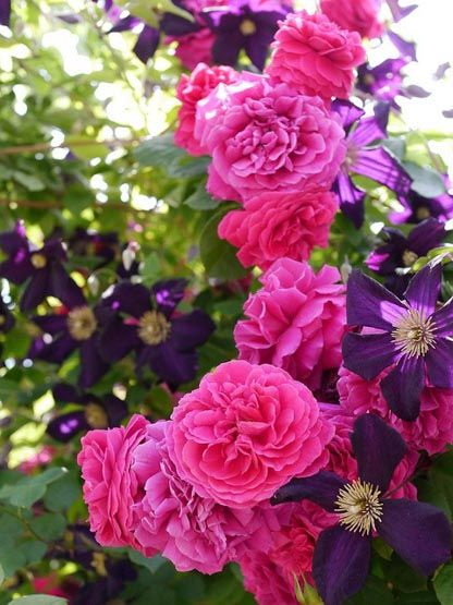 Combining roses and clematis....