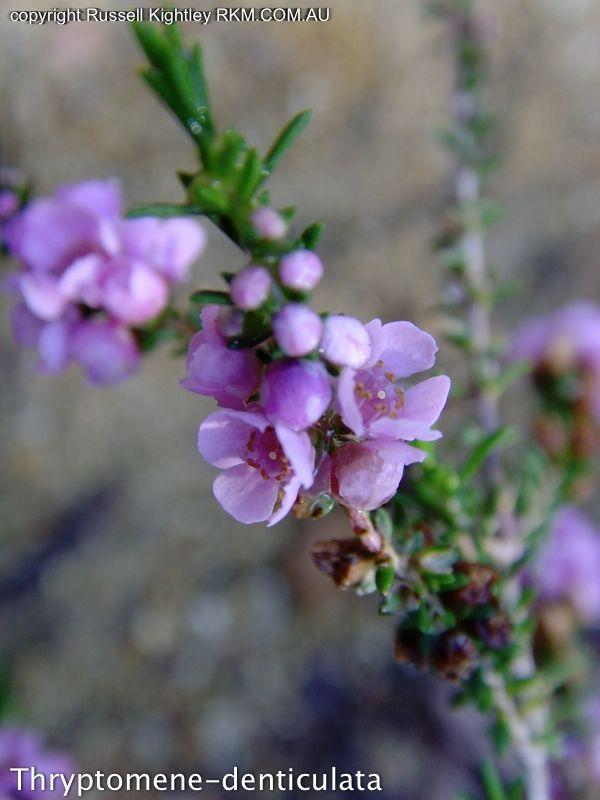 Australian Spring Wildflowers -Thryptomene -White, Pink, Lavender