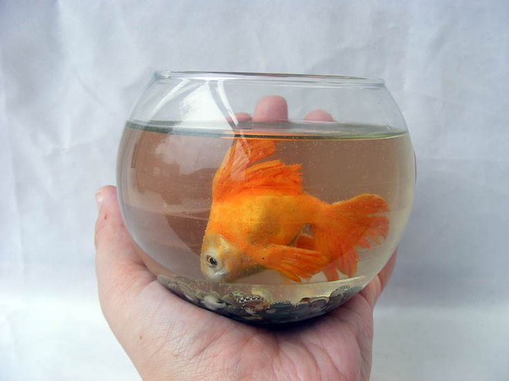 Goldfish sculpted from polymer clay and set in resin for Small fish bowl