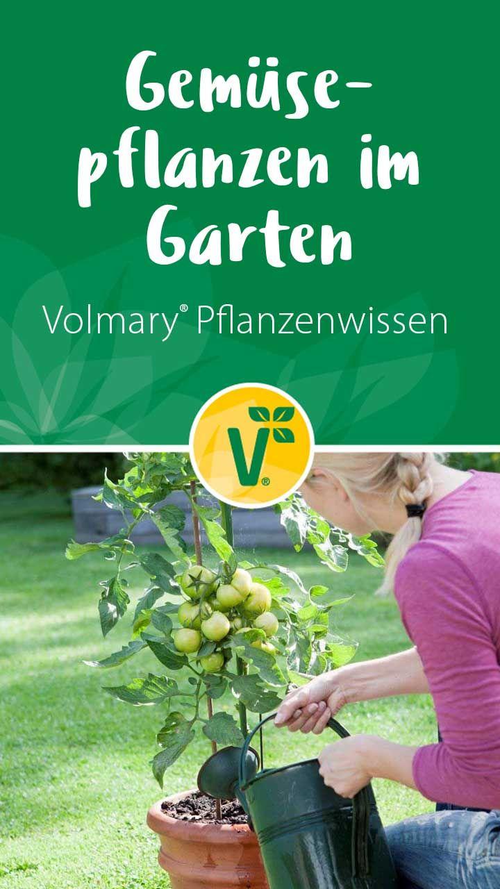 Gemuse Pflanzen Im Garten Gemuse Pflanzen Pflanzen Kartoffelpflanzen