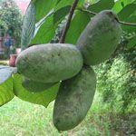 Pawpaw - Fruitbomen.net Mobiel