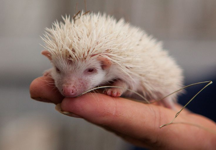 A visitor holds an albino hedgehog at a private zoo in Moscow on Aug. 22. Three of these rare albino hedgehog babies were born on the same d...